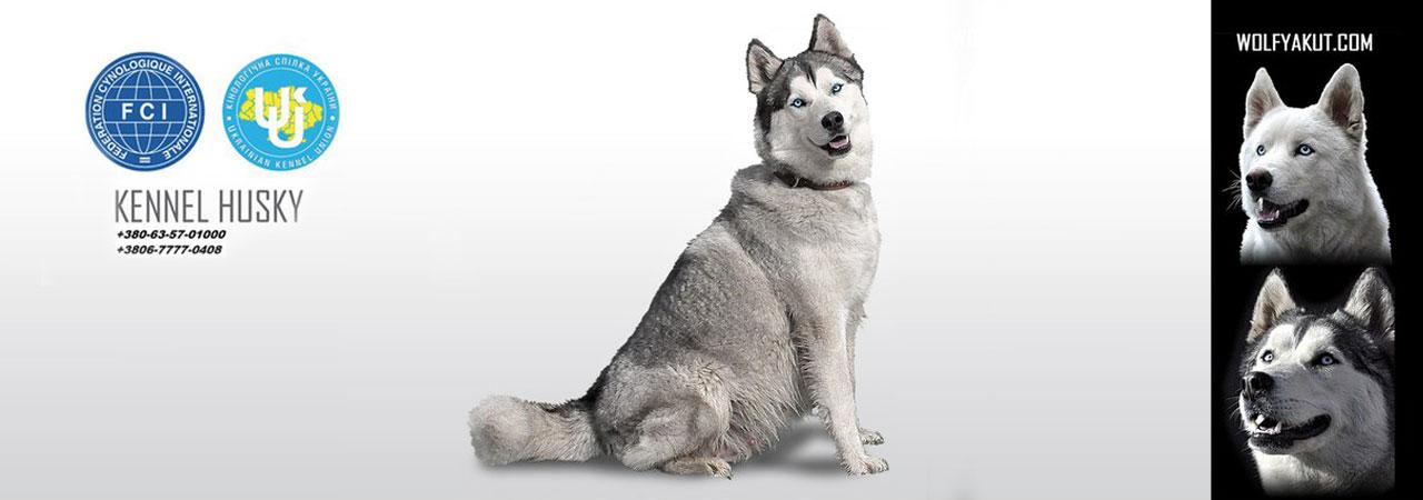 wolfyakut