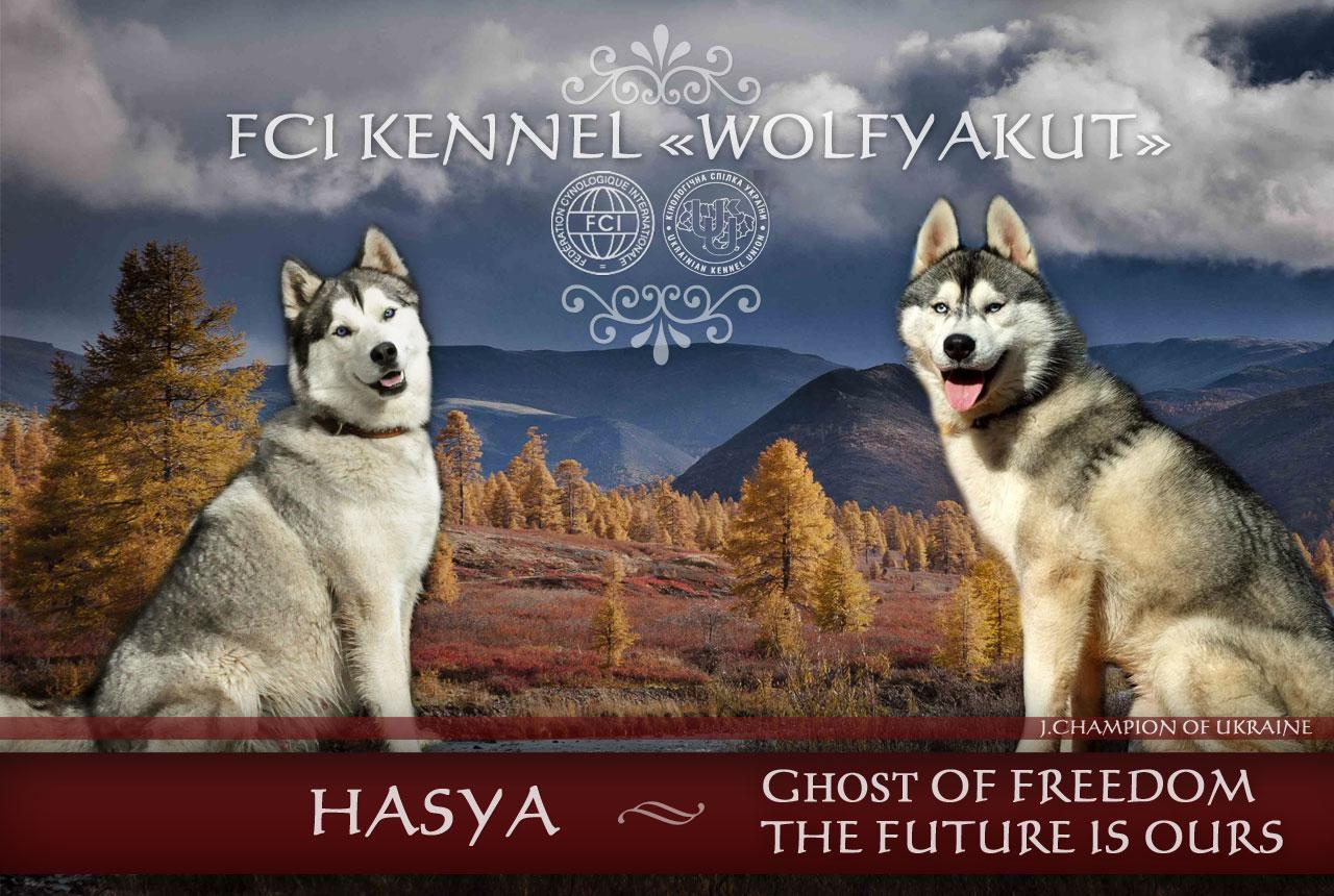 In attesa nuovi cuccioli prima di Natale dal allevamento Wolf Yakut Aperti iscrizioni su prenotazione cuccioli dalle coppie nidificanti di blue-eyed Haski: Hasya & Terik
